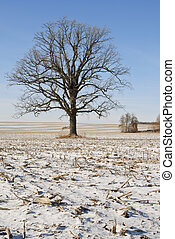 Maple Tree - Bare maple tree in winter snow