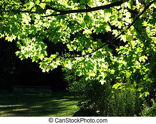 Maple Tree - Beautiful green Maple tree with sunlight...