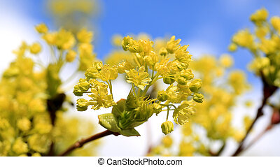 Maple Tree Blossoms against Sky
