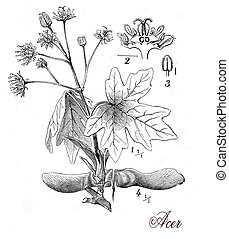 Vintage print describing maple tree botanical morphology:opposite palmate leaves, flowers and fruits (samaras) in distinctive pairs englobing one seed each