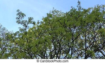 maple tree branch blooms against blue sky. 4K
