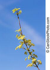 maple tree branch