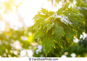 maple tree branch with green leaves in the snow in the rays of the rising sun