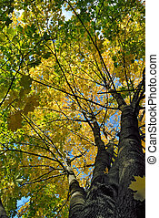 Maple tree crone in autumn colors