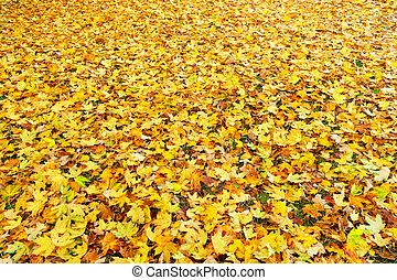 Maple tree fall leaves background