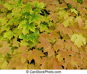 Maple tree Fall leaves