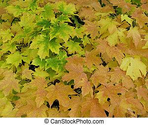 Maple tree Fall leaves