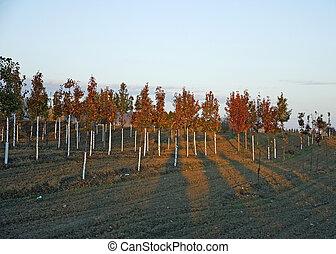 Maple tree farm in autumn