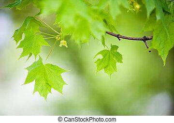 Maple tree - Green maple tree leaves, shallow focus