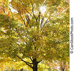 Maple tree in autum. - Maple tree in autum with colorful...