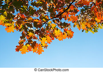 Maple tree in autumn forest