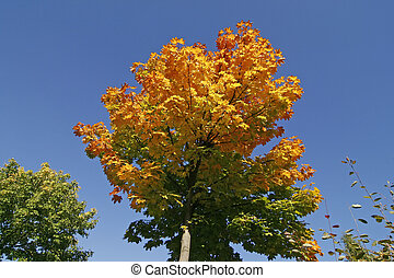 Maple tree in autumn, Germany