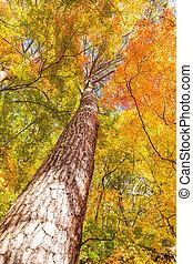 Maple Tree in Autumn season