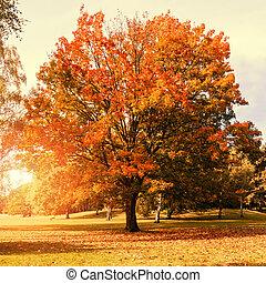 maple tree in autumn with sunlight (orange color)