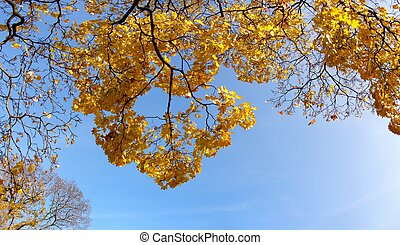 Maple tree in fall - autumn