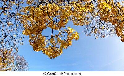 Maple tree in fall - autumn