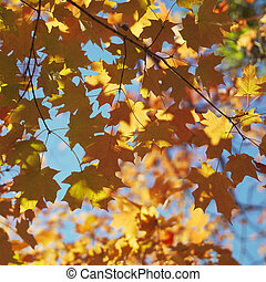 Maple tree in Fall color.
