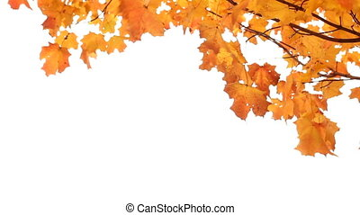 Maple Tree in Fall on White