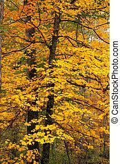Maple tree in fall.