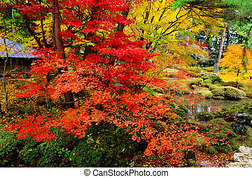 Maple tree in Japanese garden