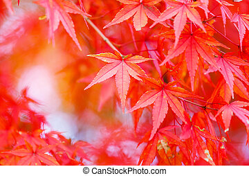 Maple tree in red