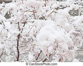 Maple tree in snow