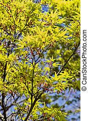 Maple tree in springtime