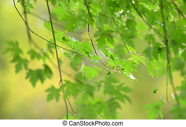 maple tree in the spring