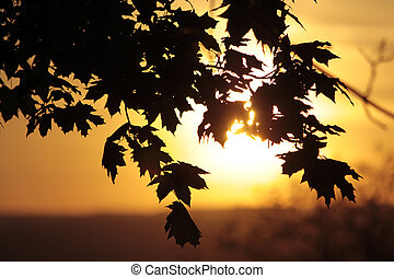 Maple tree in the sunset