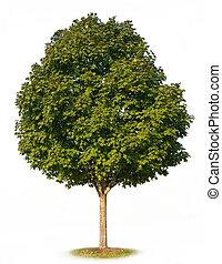 Sugar Maple Tree (Acer saccharum) isolated on white background.