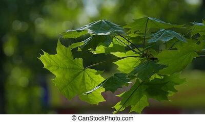 Maple tree leaves bokeh green background video 4k