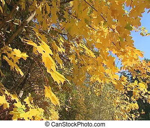 Maple tree leaves colored yellow in autumn on background of blue sky.