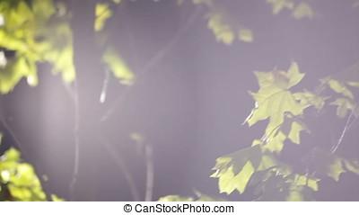 Maple Tree Leaves Flares Night Scene - Maple tree leaves...
