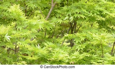 Maple tree leaves swaying