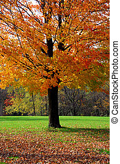 Maple tree - Single maple tree with colorful fall leaves
