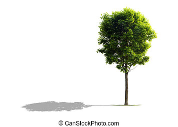 Maple Tree isolated on White with shadow