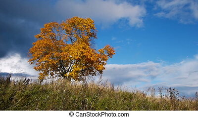 Maple tree showing the colors of autumn