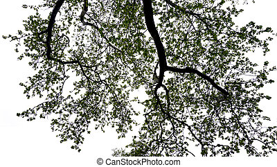 maple tree silhouette in the park