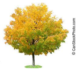 Maple Tree - Single maple tree in the autumn isolated on...