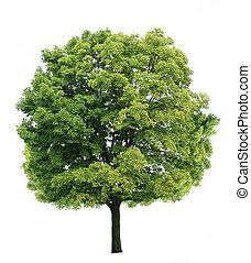 Maple Tree - Single maple tree isolated on white background