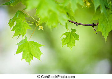 Maple tree - Green maple tree leaves, shallow focus