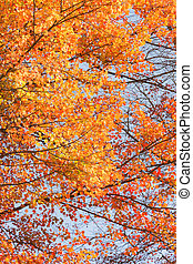 Maple Tree - Looking up at maple tree with beautiful orange...