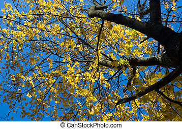 Maple tree top with yellow leaves