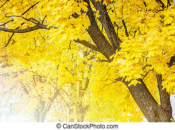 Maple tree with autumn yellow leaves