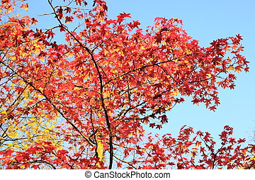 Maple tree with red leaves.