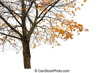Maple tree with yellow autumn leaves isolated on white
