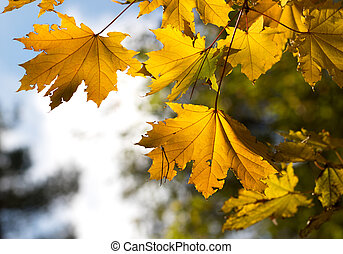 Maple tree with yellow leaves in autumn forest