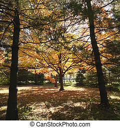 Maple trees in Fall color.