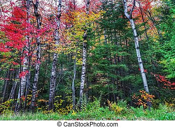 Maple trees in fall