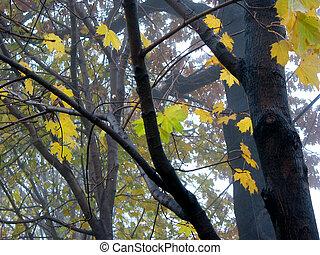 Maple trees in fog